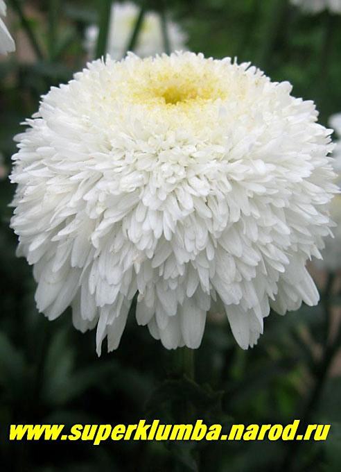 Фионы цветы