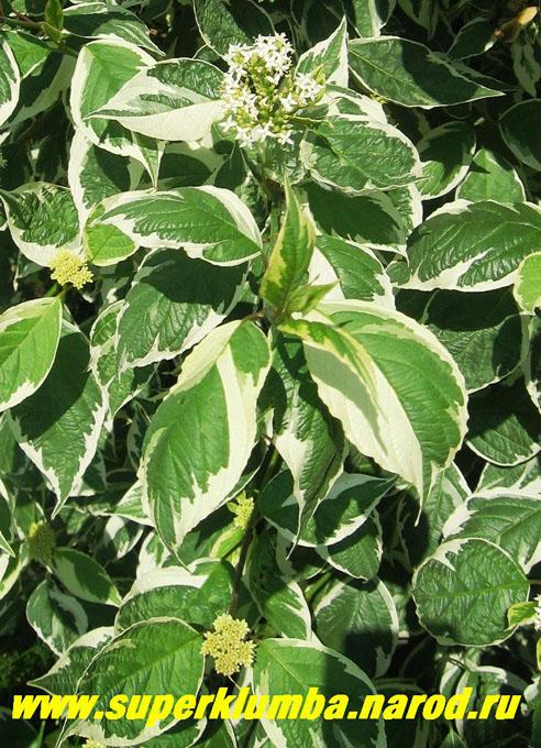 Садовые цветы с белыми листьями