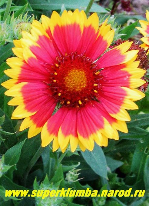 Цветы гелениум