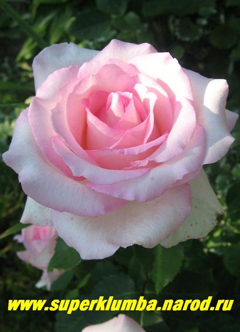 Роза супер гранд аморе купить