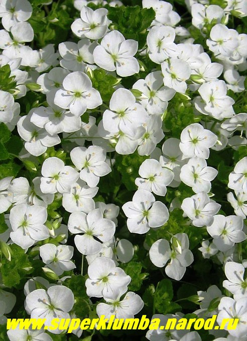 Вероника нитевидная цветы