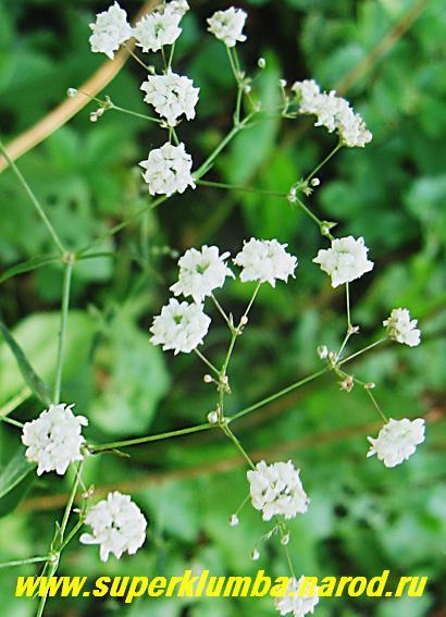 Кустик с белыми мелкими цветами