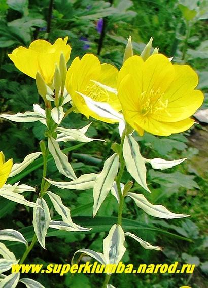 Энотера вариегатная oenothera variegata цветы