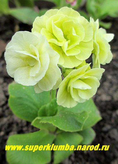 С ароматом высота до 15см цветет май