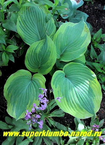 Цветок с широкими листьями и белыми цветами фото