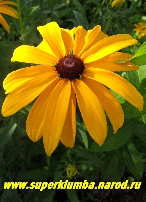 Жёлтые цветы с коричневой серединкой