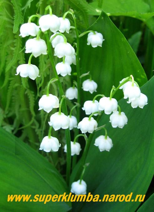 Ландыш майский крупноцветковый